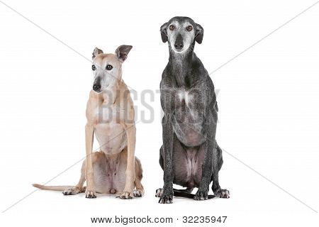 Two Greyhound Dogs