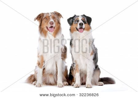 Two Australian Shepherd Dogs