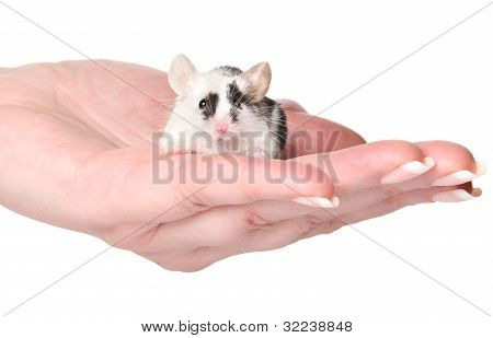 Tiny Mouse In Woman Hand