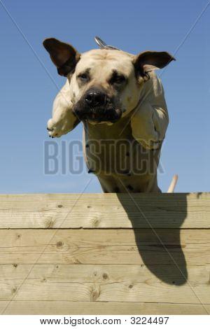 Jumping Dogo Canario