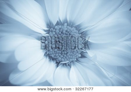 Close up on a dreamlike white flower in blue tone
