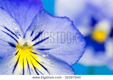 Close up on blue viola flower with waterdrops