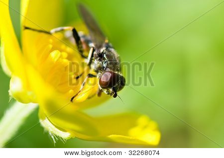 Buttercup and a fly (episyrphus balteatus)