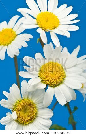 Close up on Marguerite flowers on blue background