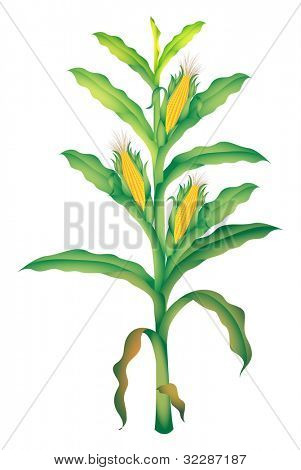 corn illustration on white background - EPS VECTOR format also available in my portfolio.