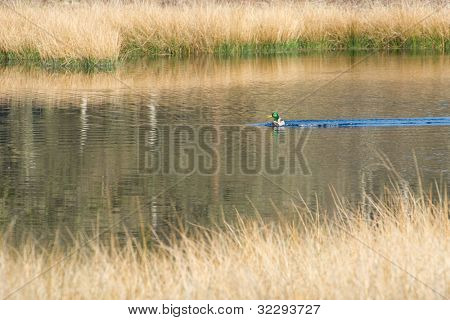 Landscape with nature fen and swimming wild duck