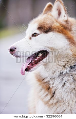 haski dog animal best people friend in nature