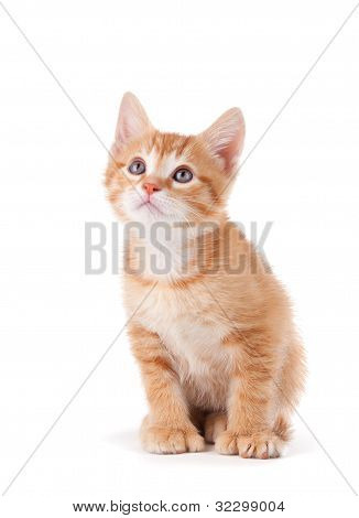 Cute orange kitten with large paws looking up on a white background