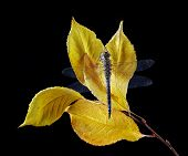 Bright Yellow Autumn Leaves. Dragonfly On Yellow Leaves Isolated On Black. Yellow Sakura Leaves poster