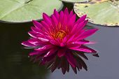 stock photo of water lily  - Beautiful pink lotus flower blossoming in the natural pond - JPG
