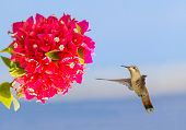 Flying Hummingbird Hovering In Mid Air In Front Of Red Flower poster