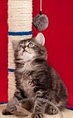 Curious Siberian Kitten On The Scratching Post Over Red Background poster