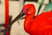pic of scarlet ibis  - scarlet ibis Eudociums rubber from South America red plumage - JPG