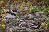 stock photo of killdeer  - Newly hatched killdeer chick in nest with eggs - JPG