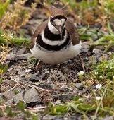 image of killdeer  - Close up shot of Killdeer bird at nesting time sitting with chicks and eggs on nest - JPG