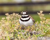 pic of killdeer  - Close up shot of Killdeer bird at nesting time and defending its young with aggressive dance - JPG