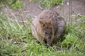 picture of quokka  - this is a close up of a quokka - JPG