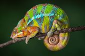 stock photo of chameleon  - A ambilobe panther chameleon is sleeping on a branch - JPG
