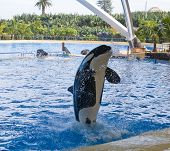 image of orca  - Orca whale Orcinus orca Show Loro Parque Tenerife Canarian islands - JPG