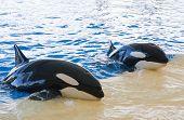 stock photo of orca  - Orca whale Orcinus orca Show Loro Parque Tenerife Canarian islands - JPG