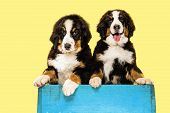 Berner Sennenhund Puppies Posing. Cute White-braun-black Doggy Or Pet Is Playing On Yellow Backgroun poster
