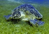 stock photo of green turtle  - The green sea turtle Chelonia mydas is the only member of the Genus Chelonia. Conservation status: Endangered species.