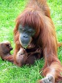 A Baby Orang With Its Mother