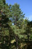 Coniferous Forest. Tall Pine Trees. Woodland In Sunny Day. poster