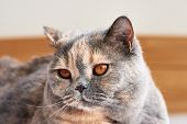 Head Of Shorthair British Cat With Big Eyes And Beard. Lying And Resting. poster