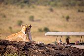 A Lioness Portrait With Safari Car In The Masai Mara National Park, Kenya. Animal Wildlife. Safari C poster