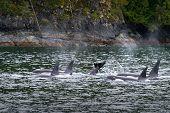 Johnstone Strait Orcas British Columbia. A Pod Of Orcas Feeding In Johnstone Strait, British Columbi poster