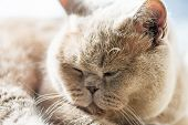 Beautiful British Shorthair Cat Is Lying And Sleeping On The Window poster