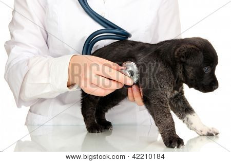 vet checking the heart rate of puppy isolated on white