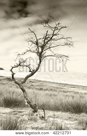 Barren Tree With Sheeps Wool Toned