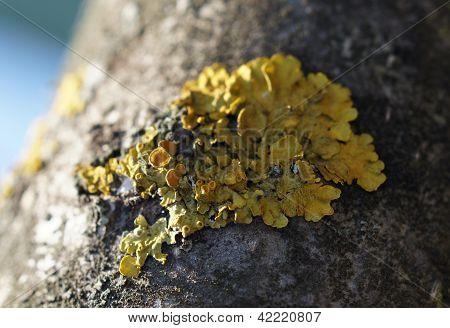 Cladina yellow