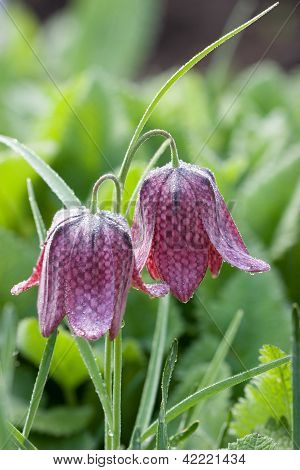 Fritillary With Morning Dew