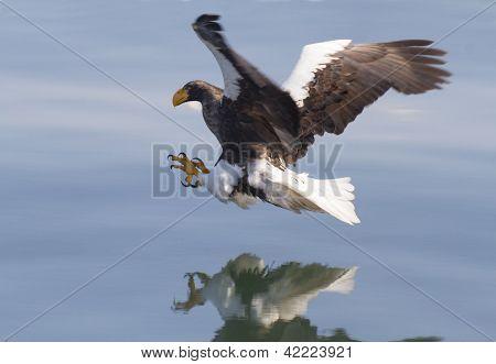 Ataques de águila Marina de Steller