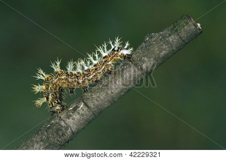 Caterpillar Of Papilionidae In The Branch
