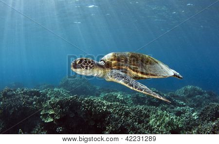 Hawaiian Grüne Meeresschildkröte