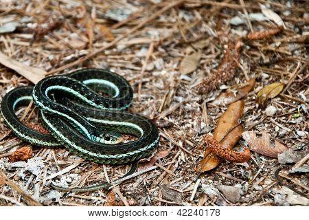 Bluestripe Garter Snake