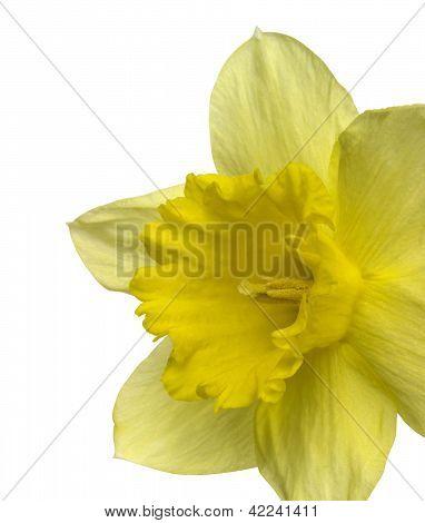 Yellow Daffodil Detail
