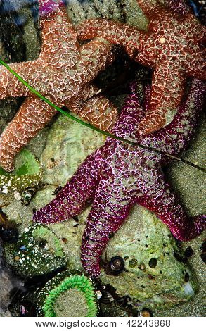 Starfish And Sea Anemones