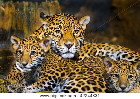 Jaguar-Jungtiere
