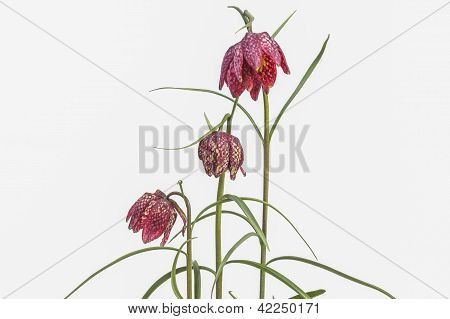 Fritillaria Meleagris On White