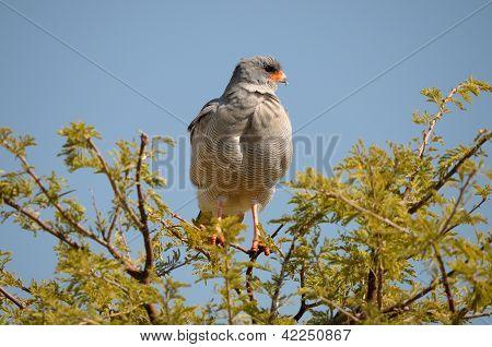 Southern Pale Chanting Goshawk, Melierax Canorus