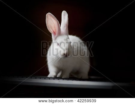 white rabbit on black