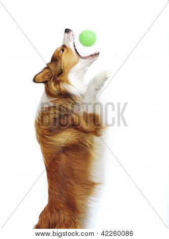 Sable border collie pegar uma bola isolada no branco