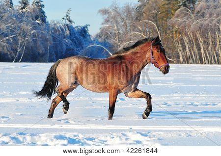 roan horse in the winter field running