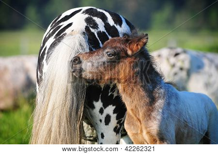 A color photo of a beautiful brown horse standing next to a young appaloosa stallion.