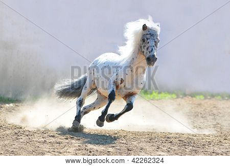 The appaloosa pony in dust action shot
